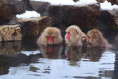 Snow monkey — Stock Photo