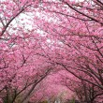 Постер, плакат: Sakura path
