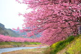 Kawazu cherry tree in shizuoka japan — Stock Photo