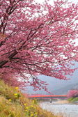 Kawazu cherry tree — Stock Photo