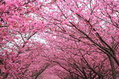 Sakura arch — Stock Photo