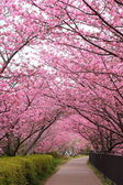Sakura path — Stock Photo