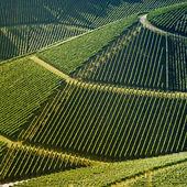 Vineyard in summer — Stock Photo