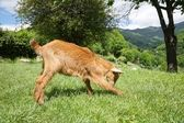Goat playing in Asturias — Stock Photo