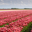 Tulip row — Stock Photo