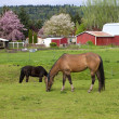 Horses grazing. — Stock Photo