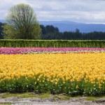 Tulips, Woodland WA. — Stock Photo #10346787