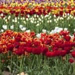 Tulips, Woodland WA. — Stock Photo #10351251