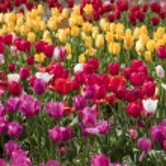 Tulips, Woodland WA. — Stock Photo