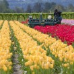 Harvesting tulips, Woodland WA. — Stock Photo #10351265