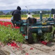 Harvesting tulips, Woodland WA. — Stock Photo