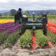 Harvesting tulips, Woodland WA. — Stock Photo