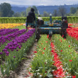 Harvesting tulips, Woodland WA. — Stock Photo #10351281
