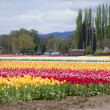 Tulips, Woodland WA. — Stock Photo