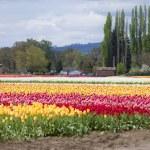 Tulips, Woodland WA. — Stock Photo #10351283