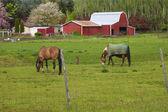Horses grazing. — Stock Photo