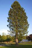 A tall pine tree, Gresham OR. — Stock Photo