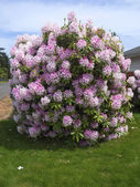 Rhododendron tree. — Stock Photo