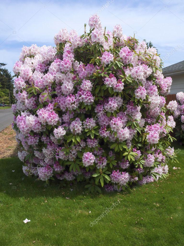 arbre de rhododendron photo 10690756. Black Bedroom Furniture Sets. Home Design Ideas