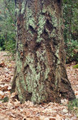 старый рост ствола и мосс дерева. — Стоковое фото