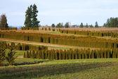 Pine tree farm and field. — Stock Photo