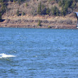 Stock Photo: Wind surfing on ColumbiRiver, Hood River OR.