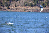Wind surfing on the Columbia River, Hood River OR. — Stock Photo