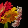 Stock Photo: Red, yellow and pink gerberbouquet on black background