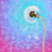 Dandelion on the long stem at sunset — Stock Photo