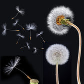 Dandelions on the black background — Stock Photo