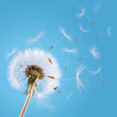 Dandelion seeds blown in the sky — Stock Photo