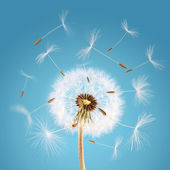 Dandelion seeds flying away with the wind — Stockfoto