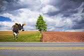 Amerikaanse landweg met koe — Stockfoto