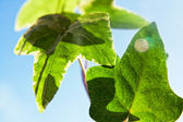 Green organic plant leaves — Stock Photo