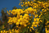 Mimosa flower 038 — Stock Photo