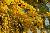 Mimosa flower 026 — Foto de Stock