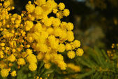 Mimosa flower 024 — Stock Photo