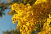 Mimosa flower 020 — 图库照片