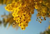 Mimosa flower 018 — Foto de Stock