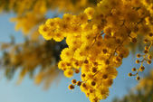 Mimosa flower 016 — Stock Photo