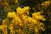Mimosa flower 015 — 图库照片