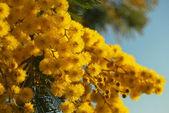 Mimosa blommor 012 — Stockfoto