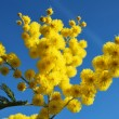 Mimosa flower 648 - Stock Photo