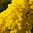 Mimosa flower 619 — Stock Photo