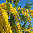 Mimosa flower 616 — Stock Photo