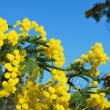 Mimosa flower 555 — Stock Photo