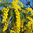 Mimosa flower 499 - Stock Photo