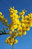Flor de mimosa 650 — Foto de Stock