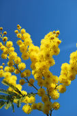 Mimosa flower 645 — Stock Photo