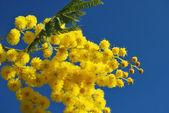 Mimosa flower 636 — Stock Photo